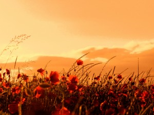 Coquelicot et coucher de soleil par Stéphane Thirion