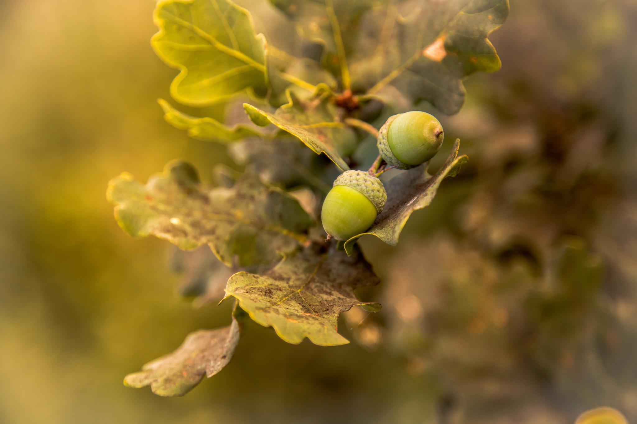 Fruit de chêne gland par Stéphane Thirion